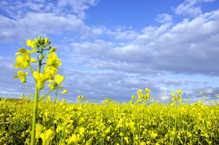 Yellow rape field and dense cloudy sky background.