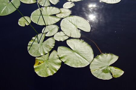 Background closeup of lake water, lily leaves the sun reflection  Stock Photo