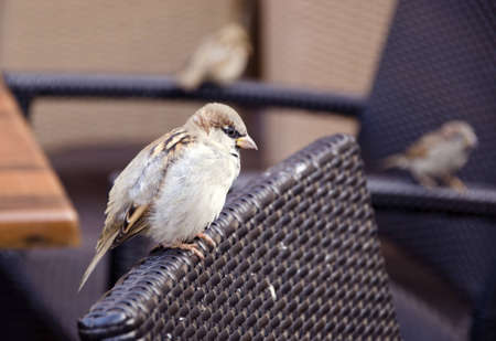 Beautiful bird sparrow sits in outdoor cafe on chair.
