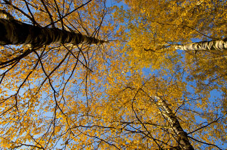 Amazing birch tree trunk branch tops with yellow leaves in autumn on background of blue sky.
