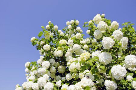 Snowball. Viburnum. Amazing blooms on the bush.  Stock Photo