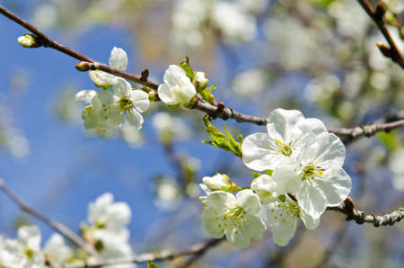 White apple tree buds and blooms in spring beauty closeup macro backdrop background