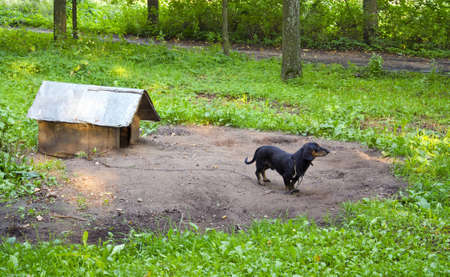 Dog pet dachshund sausage-dog chained dog house in forest surrounded by verdant vegetation   photo
