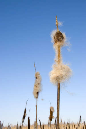 Seedy reed stalks and head in winter on background of blue sky  Nature waiting for spring  cat-tail  photo