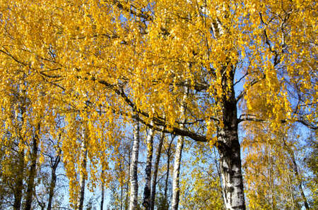 Background of birch tree trunks branches and yellow golden leaves in autumn sunlight sun   photo