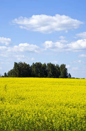 Background of yellow oilseed rape planted in agricultural field and blue cloudy sky trees   Stock Photo