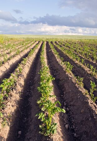 Plowed up potato vegetable agricultural industrial field background  Wheat and cloudy sky in distance   photo