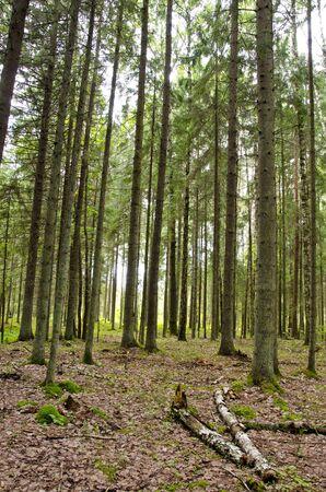 Always verdant conifer forest in autumn. Trunks of fir branches moss.