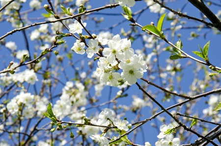 white blooming apple tree branches on background of blue sky  Natural spring beauty backdrop   Stock Photo