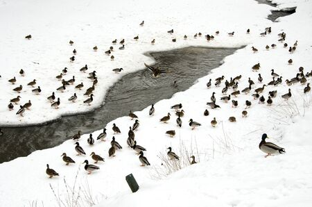 lots of ducks on snow in the winter near frozen river water flow   Stock Photo - 13069285