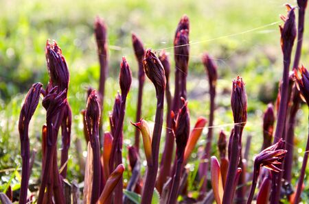 burgeoning: Burgeoning red plant stems entwined with cobwebs in spring  Natural background