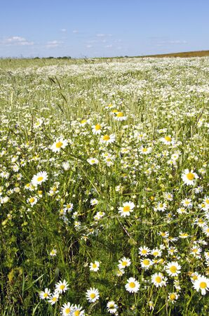 background of agricultural fields full of marguerite daisy flowers.  Stock Photo