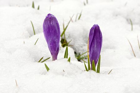 Crocus saffron first spring flowers between melting snow. Violet blooms.  photo