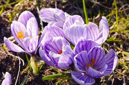 Crocus saffron first spring flowers grow in garden  Violet blooms   Stock Photo