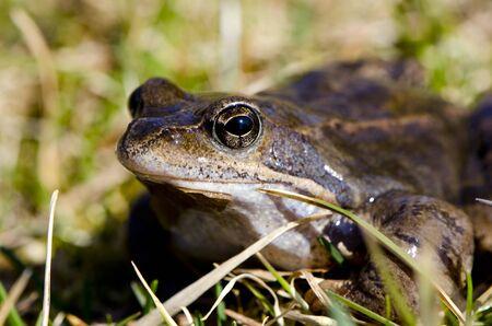 bufo bufo: Frog eye macro closeup of wet amphibian animal between grass