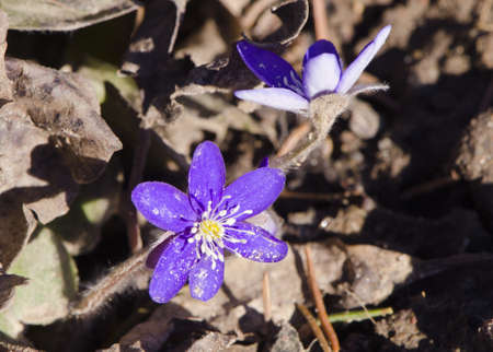 Closeup hepatica blue flowers blooms  Nature beauty wake up in spring   photo