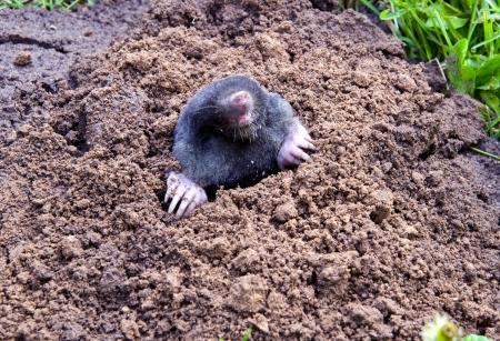 cabeza del topo y las piernas colgando de montículos animales parasitaria hacer daño a jardines y plantas agrícolas Foto de archivo - 13662099