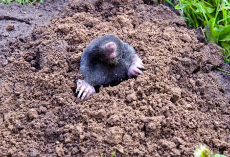 mole head and legs hanging out of mole-hill  parasitic animal make damage to gardens and farm plants   Stock Photo - 13662099