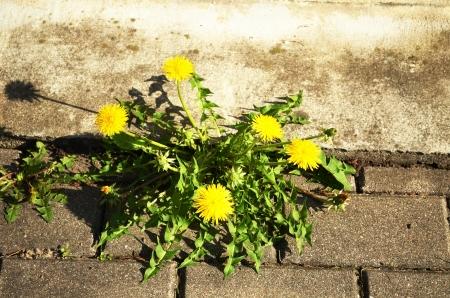 Blooming dandelion sow thistle flower yellow with green leaves growing between sidewalk tiles   Stock Photo
