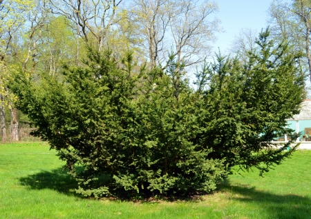 Juniper prickly yew plant grow surrounded by verdant herbs in spring garden
