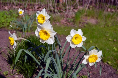 Daffodils narcissus blooming in spring  Beautiful yellow white color flowers in garden