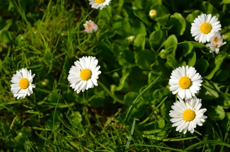 Closeup of small sun flowers with yellow middle with lot white closeup of small sun flowers with yellow middle with lot white leaves like daisy romantic mightylinksfo