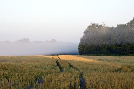 Wheat field wheel mark in early morning fog near forest trees and bluet cornflower flower   photo