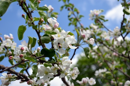 Blooming branches apple tree and bee collecting nectar closeup. Amazing spring view.  photo