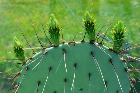 Prickly Pear or Paddle cactus prepared for blooming inside summerhouse. Plant long and sharp spines closeup.  photo