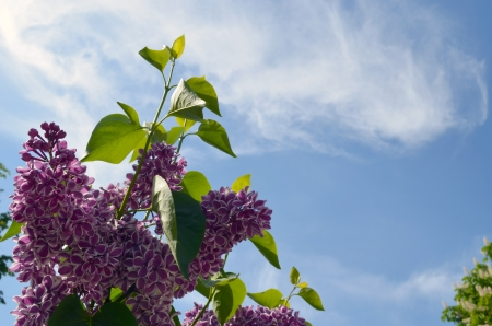 Blooming purple lilac tree bush and leaves on background of blue cloudy sky