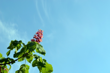 Red blooming beautiful conker trees on background of blue sky   photo