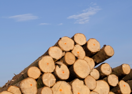 Cut spruce fir tree logs in pile on background of blue sky. Timber industry.  photo