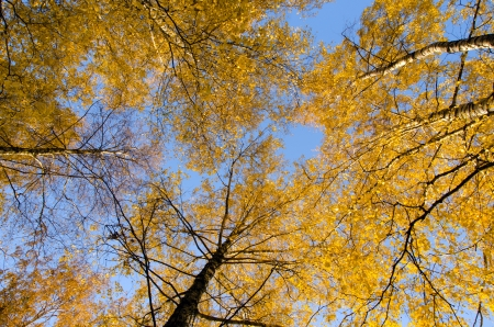 Amazing autumn view of birch tree tops with yellow leaves on background of blue sky   photo