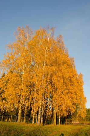 Yellow birch trees in autumn park near rusty metal fence on background of blue sky   photo