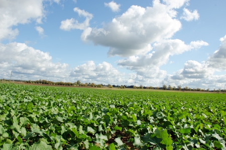 rapeseed agriculture field in autumn and sky with cumulus clouds