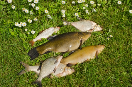Lake fishes tench, bream, roach on green grass  Active leisure fishing catch   photo