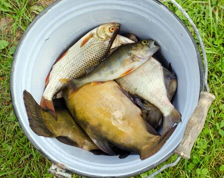 Fishes tench roach bass catch in old retro rusty bucket Stock Photo - 15230662
