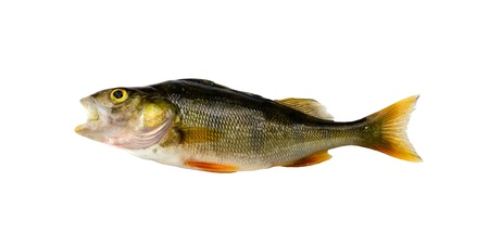 Bass perch fish after fishing isolated on white background   photo