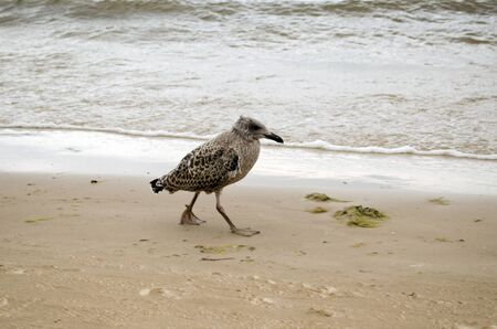 Seagull baby walks coastal sea sand and waves beat shore.  photo
