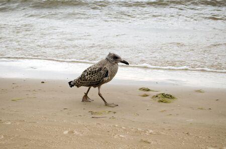 Seagull baby walks coastal sea sand and waves beat shore.