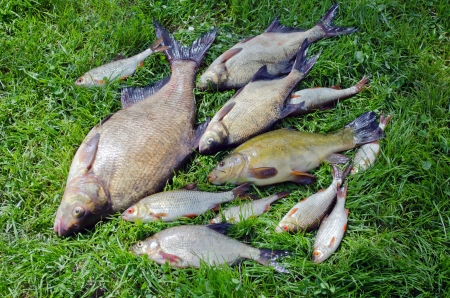 Bream roach tench fishes caught in lake after fishing on grass  photo