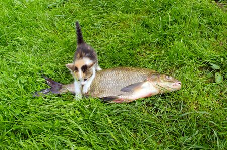 Little tabby kitten climbs over big bream fish on green grass  Fishing catch food   Stock Photo - 15560855