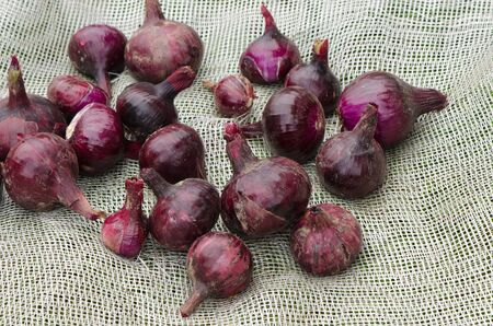 bulbar: Red onion harvesting. Vegetable dry on white net. Healthy natural ecologic nutrition.