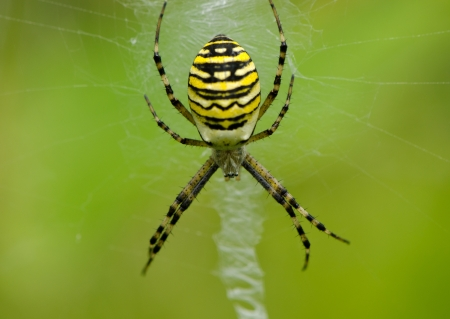 wasp spider argiope bruennichi beautiful sit on spyderweb  Striped yellow and black color   photo