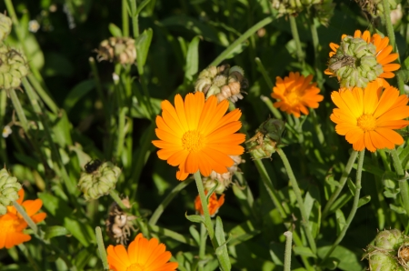 Herb marigold calendula officinalis orange flower bloom used in folk medicine