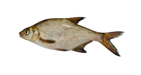 silver bream (abramis brama) lake fish closeup isolated on white background.  photo