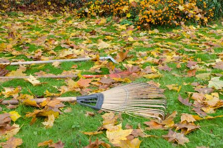 various rake tools lie on autumn meadow ground covered with lot of colorful leaves in garden.  photo