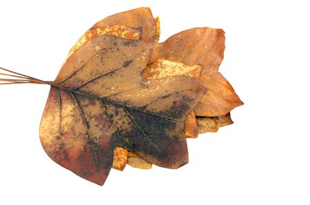 sear decorative autumn tulip tree leaves lay in a pile on top of each other on white background.
