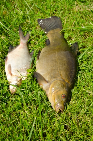 lake fishes tench with orange eye and bream on green grass.  photo