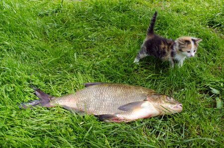 huge bream lake fish after angling and little tabby kitten walk on green grass.  Stock Photo - 17710877